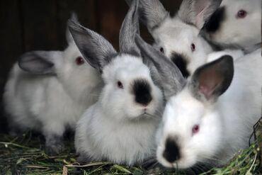 Крольчата Колифорниятакже есть крольчата НЗБ родились 8 июня 2021