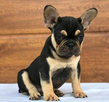 Štenci francuskog buldogaOdlični štenci francuskog buldoga Dostupni za