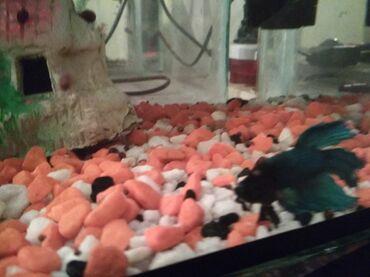 Продаю аквариум 40 литров, с двумя рыбками петушок
