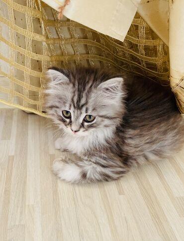 Коты - Кыргызстан: Котёнок чистокровная шотландка