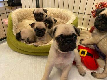 Εκπληκτικά κουτάβια PugΌμορφο γενεαλογικό Pug Puppy's Will θα είναι KC