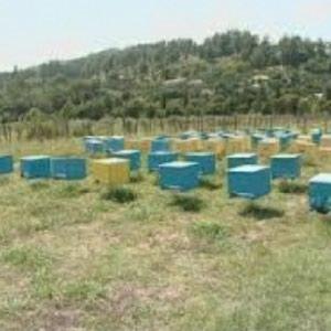 Şamaxı şəhərində Yaza çıxmış arılar satılır. Şamaxının kəndində