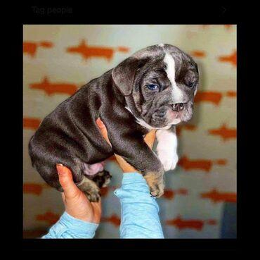 Moje krásná DAMO má 7 krásných štěňátek english bulldog. Od 2. dubna m