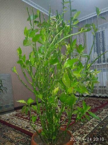 Семена и уличные растения - Кыргызстан: Семена и уличные растения