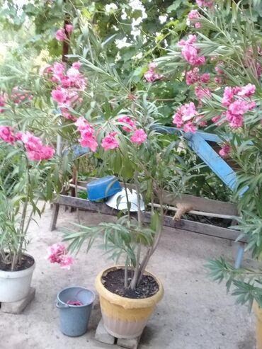 Все для дома и сада - Сокулук: Цветы  9 летние
