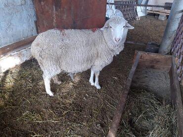 Продаю | Овца (самка) | Меринос | На забой | Матка