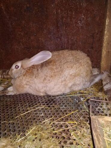 Животные - Новопавловка: Продаю | Крольчиха (самка) | Фландр