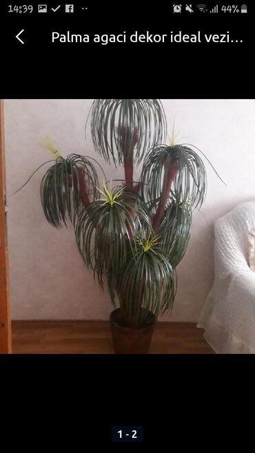 Palma agaci decor teze kimi qiymet 35 Azn.unvan Nesimi
