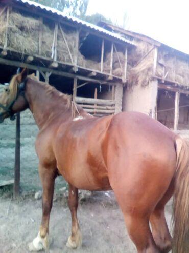 12 объявлений   ЖИВОТНЫЕ: Продаю   Кобыла (самка)   Кара Жорго   Конный спорт   Племенные