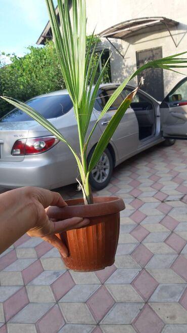 Пальмы,офисные растения Комнатные растения