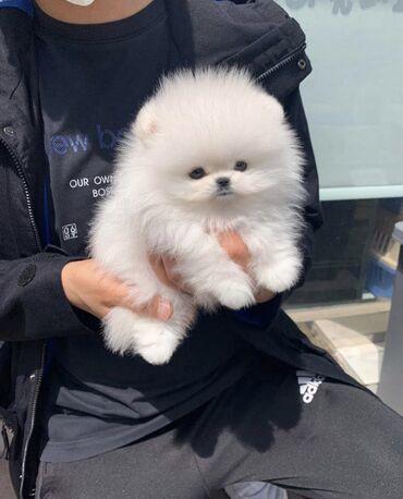 Διατίθενται όμορφα κουτάβια Pomeranian Διατίθενται όμορφα κουτάβια