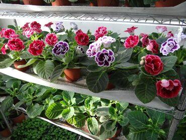 элевит 2 триместр цена бишкек в Кыргызстан: Фиалки и глоксинии цветущие, по низким ценам