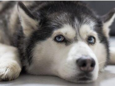 приму в дар породистую собаку в Кыргызстан: Приму в дар (Алам жакшы колго ит )Собаку породы ХаскиВ хорошие добрый