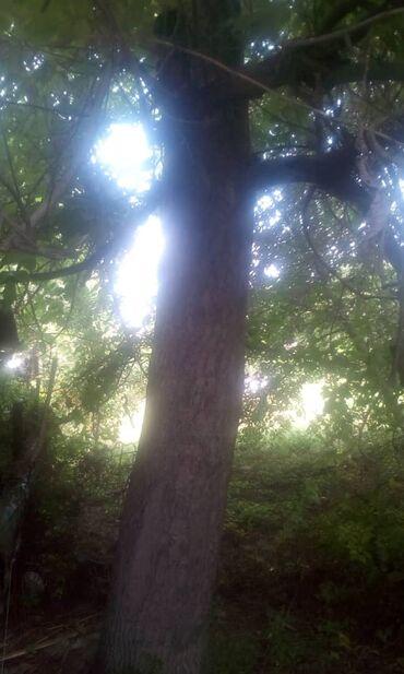 Срочно в С.Озерное продается ореховое дерево 40 лет. Цена