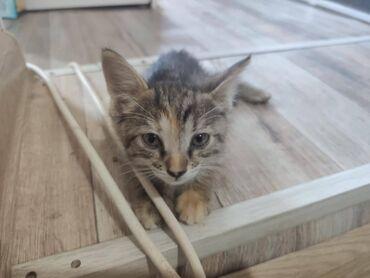Животные - Таджикистан: Котенок (девочка), тигровой окраски, 1 месяц, к лотку приучена