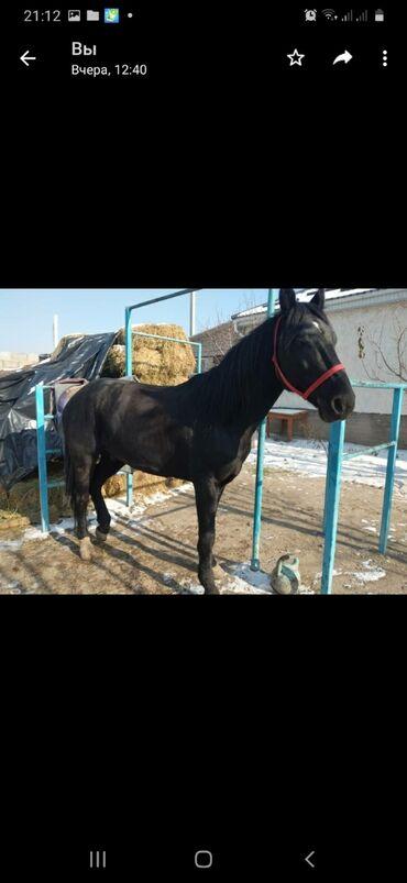 Лошадь Улак ойноп жүрөт ойноп жүргөн ат