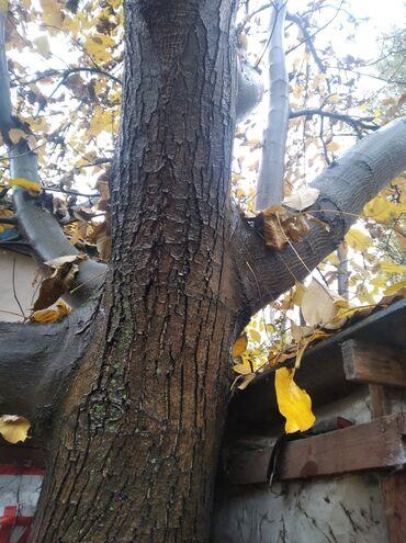 Пиломатериалы, фанера - Сокулук: Кап ореховый дерево продаю