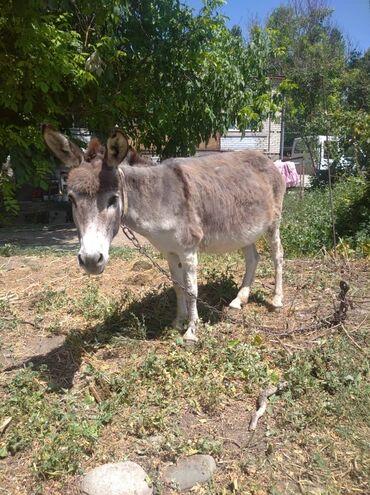 Животные - Гавриловка: Продаю молодую ишачку,крупная,спакойная, домашняя, недавно погуляла.