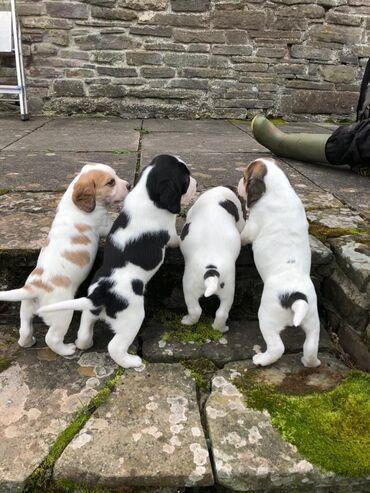 Κουτάβια Beagle για υιοθεσίαΕξαιρετικό Γενεαλογικό. Κουτάβια Beagle