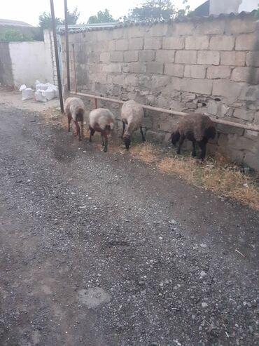 qoyunlar - Azərbaycan: Cavan bogaz qoyunlar