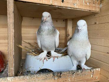 Türk Taklası temiz orginal Türk taklası Mardin kuşudur hazır