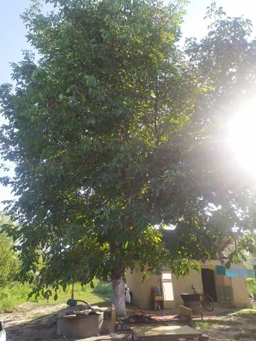 Семена и уличные растения - Сокулук: Келишим баада