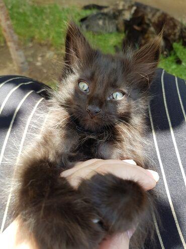 Животные - Джал мкр (в т.ч. Верхний, Нижний, Средний): Раздаю 4-рех котят, даром! Очень ласковые, игривые, спокойные. Можно