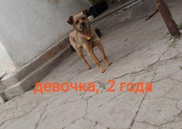 продажа щенков бишкек в Кыргызстан: Отдаем в добрые руки щенков - девочка и мальчик примерно 6 месяцев  И