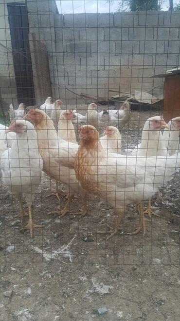 Животные - Кызыл-Суу: Несушки по 450