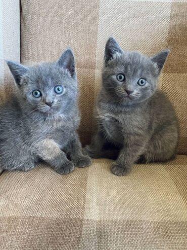 Ρωσικά μπλε γατάκια προς πώλησηΡωσικά μπλε γατάκια διαθέσιμα για