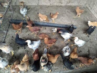 Животные - Ленинское: Срочно продаю домашних цеплята 4месяц цена 300 сом количества 60 шт