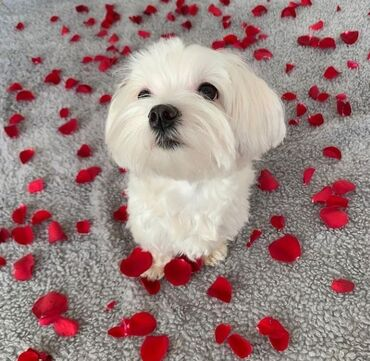 MALTESE: me and some rose leaves. I'm strong today for any challenges
