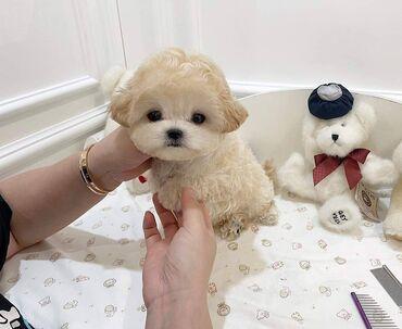 Πωλούνται κουτάβια MaltipooΈχουμε 3 όμορφα μωρά με γούνα Maltipooπου