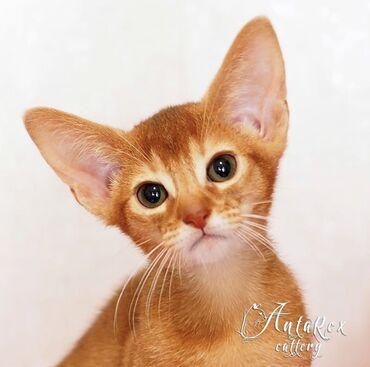 Абиссинские котята для любителей удивлять и удивляться! Ласковые