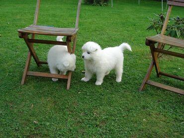 Prodaju se štenad samojeda.Dostupni su lijepi i slatki psići samojeda