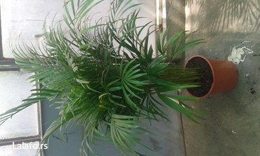 Prodajemo velike primerke areka palme, oko 100 cm, visine. Veoma je