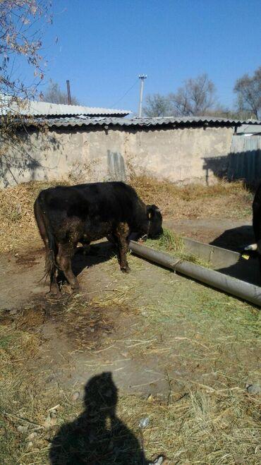 Двое быков прадаю по цене 90-80т. Сомов Панфиловский р-на село