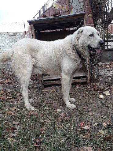 Собаки - Кыргызстан: АЛАБАЙ Хороший чиста кровный продаётсья На людей огресси нет реальному
