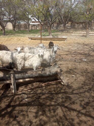 Продаю | Коза (самка), Козёл (самец), Козлёнок
