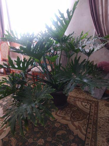 4140 объявлений: Продаю цветы пальму комнатную. Красивый пушистый с большими листьями