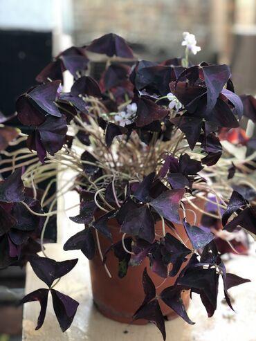 Другие комнатные растения - Кыргызстан: Комнатные шикарные цветы:  Цветущая фиолетовая Бабочка (оскалис)   Де