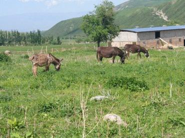 Продаю больших беременных ослиц в Бишкек