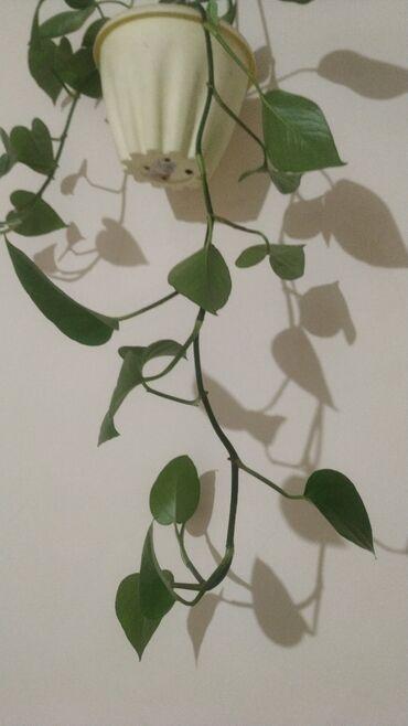 188 объявлений: Другие комнатные растения