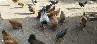 продам дом недорого in Кыргызстан   ПРОДАЖА ДОМОВ: Продаю домашних кур. Недорого
