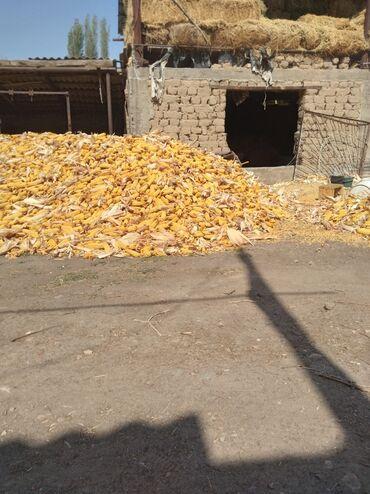 39 объявлений   ЖИВОТНЫЕ: Продаю кукурузу сорт будан сухой