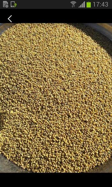продажа семена в Кыргызстан: Продаю семена люцерны