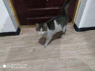 стерилизовать кошку в Кыргызстан: Отдам кошку полтора года, охотница, к лотку приучена