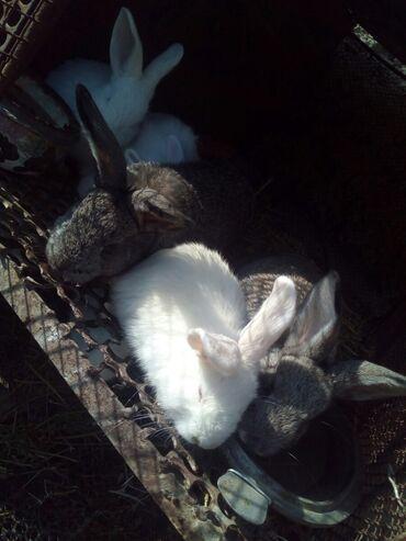 Декоративные кролики - Кыргызстан: Крольчата нзб+ фландр 5 шт