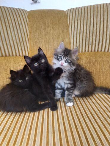 Животные - Чолпон-Ата: Отдам котят в хорошие руки !!! Город Чолпон-Ата !!!