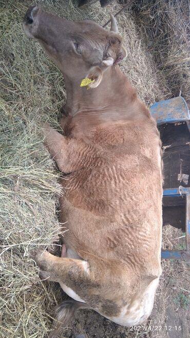 продам теленка в Кыргызстан: Продаю корову с теленком п. Сементал дойная дает 15литров молока